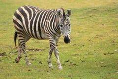 Grant's zebra. The Grant's zebra strolling in the grass Stock Photos