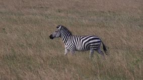 Grant`s zebra, equus burchelli boehmi, adult running through savannah, Masai Mara Park in Kenya,. Slow motion stock footage