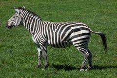 Grant& x27; s zebra & x28; Equus kwaga boehmi& x29; Zdjęcia Royalty Free