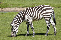 Grant's zebra, Equus quagga Boehme has distinctive stripes Royalty Free Stock Photo