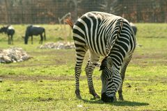 Grant's zebra (Equus quagga boehmi). A male zebra is grazing in the large savanna-enclosure Royalty Free Stock Photo