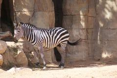Grant's Zebra - Equus quagga boehmi Stock Photography