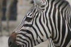 Grant's Zebra - Equus quagga boehmi. A Grant's Zebra - Equus quagga boehmi Royalty Free Stock Images