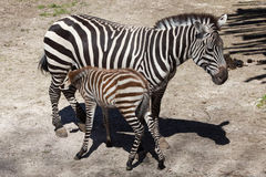 Grant's zebra (Equus quagga boehmi) feeding its foal. Stock Photography