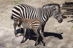 Grant's zebra (Equus quagga boehmi) feeding its foal. Stock Photography