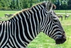 Grant's Zebra - Equus Quagga Boehmi. Focus on the head of a Grant's Zebra, the smallest of the plains zebra family Royalty Free Stock Images