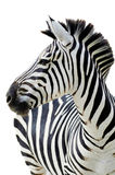 Grant's zebra (Equus quagga boehmi) isolated. A male Grant's zebra with white background Royalty Free Stock Photography