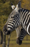Grant's Zebra (Equus quagga boehmi) stock photo