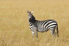 Grant's zebra Stock Images