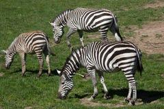 Grant's zebra (Equus quagga boehmi). Royalty Free Stock Images