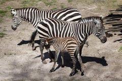 Grant's zebra (Equus quagga boehmi). Royalty Free Stock Image