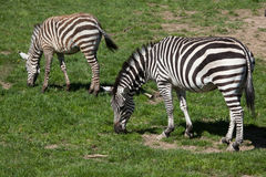 Grant's zebra (Equus quagga boehmi). Royalty Free Stock Photo
