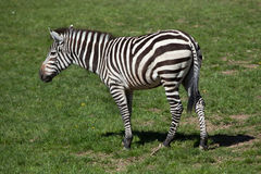 Grant's zebra (Equus quagga boehmi). Royalty Free Stock Photos