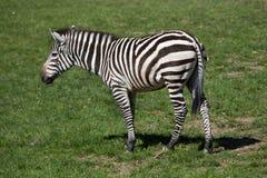 Grant's zebra (Equus quagga boehmi). Royalty Free Stock Photos