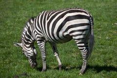 Grant's zebra (Equus quagga boehmi). Stock Photography