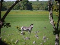 Grant's zebra. (Equus quagga boehmi) in Zambia Stock Image