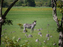 Grant's zebra Stock Photography