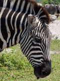 Grant's Zebra Extreme Closeup in Profile Royalty Free Stock Image