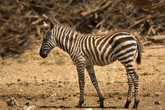 Grant's zebra foal. Equus quagga boehmi Royalty Free Stock Images