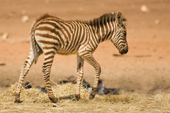 Grant's zebra foal Royalty Free Stock Photos