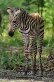 Grant's Zebra Foal. (equus burchelli granti) still a little unsure about standing upright Royalty Free Stock Images