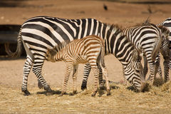 Grant's zebra foal suckling Royalty Free Stock Photos