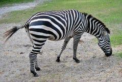 Grant`s zebra. Latin name Equus burchelli boehmi Royalty Free Stock Photo