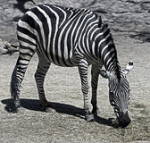 Grant`s zebra 2 Royalty Free Stock Images