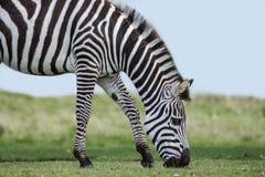 zebra profile Stock Image