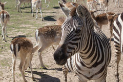 Grant`s Zebra. Zebra looking at camera in a Global Wildlife Center, New Orleans, USA Stock Image