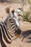 Grant's Zebra Portrait Royalty Free Stock Photo