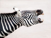 Grant`s Zebra, profile view Royalty Free Stock Images