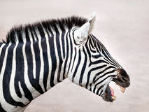Grant`s Zebra, profile view Royalty Free Stock Image