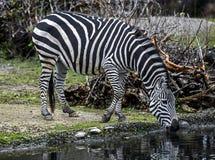 Grant ` s zebra przy podlewanie stawem Fotografia Stock