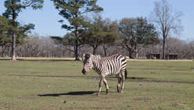 Grant`s Zebra. Zebra walking in the green field in a Global Wildlife Center, New Orleans, USA Stock Photo