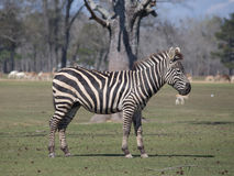 Grant`s Zebra. Zebra walking in the green field in a Global Wildlife Center, New Orleans, USA Royalty Free Stock Image