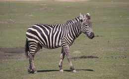 Grant`s Zebra Royalty Free Stock Images