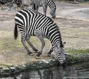Grant`s zebra at watering pond 2 Stock Photography