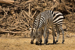 Grant's zebras Stock Photo