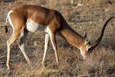 Grant& x27; gazela de s que pasta Foto de Stock