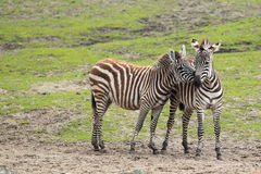 Grant zebra. The couple of Grant's zebras in the soil Royalty Free Stock Images