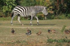Grant zebra Obrazy Royalty Free