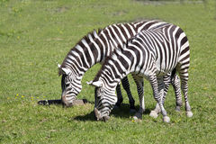 Grant zebra, Equus kwaga Boehme wyróżniających lampasy obrazy stock