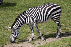 Grant zebra, Equus kwaga Boehme wyróżniających lampasy zdjęcia royalty free