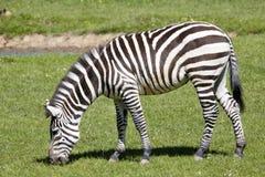 Grant zebra, Equus kwaga Boehme wyróżniających lampasy zdjęcie royalty free