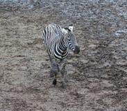 Grant zebra. Two grant zebra eating hay of the ground. Foto taken in Wildlands zoo in Emmen Stock Photography