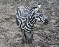Grant zebra Royalty Free Stock Images