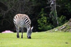 Grant Zebra, zo uniek zoals een menselijke vingerafdruk, het zwart-witte patroon dat zijn lichaam, hoofd en lidmaten omvat royalty-vrije stock foto