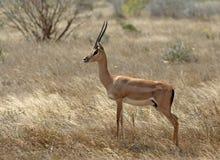 Grantgazelle,格兰特\ 's瞪羚, Nanger granti 库存照片