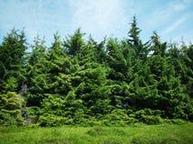 Granträd royaltyfri bild